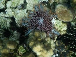 crown of thorns starfish, tanjung putus island in lampung province