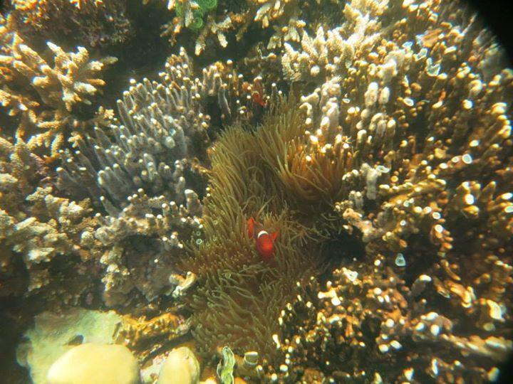 clown fish, kelagian kecil island in lampung province