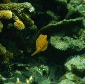 box fish, pahawang kecil island in lampung province